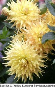 Dahlie-23-Yellow_Sunburst-S.jpg