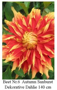 Dahlie08-06-Autumn_Sunburst-Dec.jpg