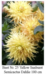 Dahlie08-25-Yellow_Sunburst-Sc.jpg