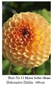 Dahlie09-11-blyton-softer-gleam.jpg