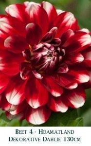 Dahlie2011-04-Hoamatland-T.jpg