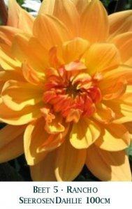 Dahlie2011-05-Rancho-T.jpg